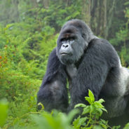 Spotlight on Mountain Gorillas