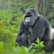 Spotlight on Mountain Gorillas